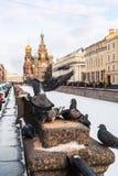 Het voeden van bevroren duif op een achtergrond van Kerk van Onze Verlosser op S Royalty-vrije Stock Foto