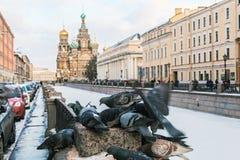 Het voeden van bevroren duif op een achtergrond van Kerk van Onze Verlosser op S Royalty-vrije Stock Afbeeldingen