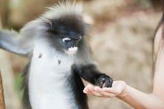 Het voeden van de aap. Stock Fotografie