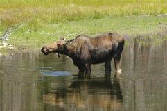 Het voeden van de Amerikaanse elanden van de koe Stock Afbeeldingen