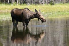 Het voeden van de Amerikaanse elanden van de koe Royalty-vrije Stock Fotografie