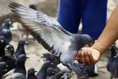 Het Voeden van de duif van een Man Hand Stock Foto