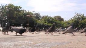 Het voeden van de duiven stock video