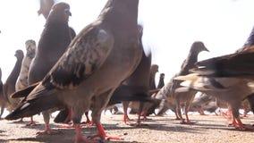 Het voeden van de duiven stock videobeelden