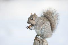 Het Voeden van de eekhoorn Stock Afbeeldingen