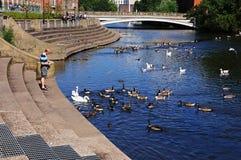 Het voeden van de eenden, Derby Stock Foto