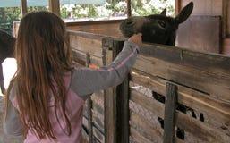 Het voeden van de ezel met wortelen stock afbeelding