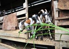 Het Voeden van de geit Stock Foto's