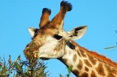 Het voeden van de giraf Stock Foto's