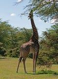 Het voeden van de giraf Royalty-vrije Stock Afbeeldingen
