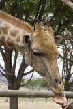 Het voeden van de giraf van personenhanden Royalty-vrije Stock Afbeeldingen