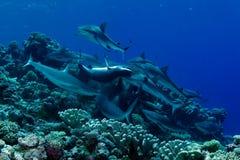 Het voeden van de haai waanzin Stock Foto's