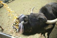 Het voeden van de koeien Stock Afbeeldingen