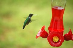 Het Voeden van de kolibrie Stock Afbeeldingen