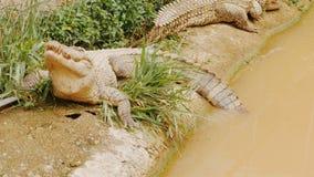 Het voeden van de krokodil in de dierentuin stock video