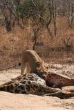 Het Voeden van de Leeuwin van het portret op Giraf Royalty-vrije Stock Foto