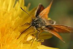 Het voeden van de vlinder Stock Afbeeldingen