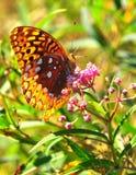Het voeden van de vlinder Royalty-vrije Stock Foto's