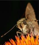 Het voeden van de vlinder Royalty-vrije Stock Afbeeldingen
