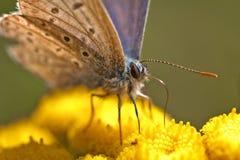 Het voeden van de vlinder close-up Stock Afbeeldingen
