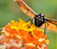 Het voeden van de vlinder macro stock afbeelding