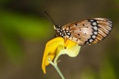 Het voeden van de vlinder op bloem royalty-vrije stock foto's