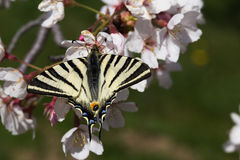 Het voeden van de vlinder op bloemen Royalty-vrije Stock Afbeeldingen