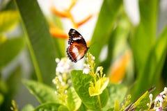 Het Voeden van de vlinder op een Witte Bloem Stock Fotografie