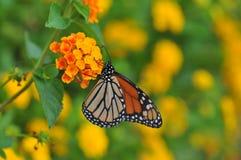 Het Voeden van de Vlinder van de monarch op Lantana Royalty-vrije Stock Afbeelding