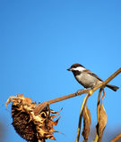 Het voeden van de vogel zonnebloemzaden stock foto's