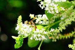 Het voeden van de wesp nectar Stock Fotografie