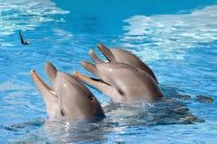 Het voeden van dolfijnen Royalty-vrije Stock Afbeeldingen