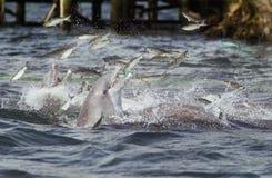 Het voeden van dolfijnen Stock Foto