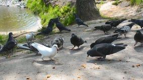 Het voeden van duiven met brood De troep van vogels vliegt weg stock videobeelden