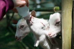 Het voeden van een geit Stock Afbeeldingen