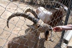 Het voeden van een geit bij de dierentuin Stock Afbeelding