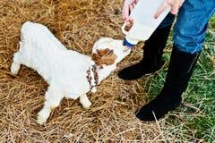Het voeden van een geit op het landbouwbedrijf Royalty-vrije Stock Afbeelding