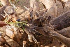 Het voeden van een hert Stock Afbeelding