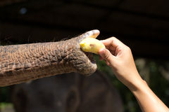 Het voeden van een olifant Stock Fotografie
