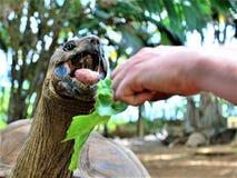 Het voeden van een schildpad in het park van de vanilleaard op het eiland van Mauritius stock afbeelding