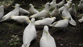 Het voeden van een troep van witte kaketoes stock footage