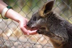 Het voeden van een Wallaby stock afbeeldingen