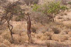 Het voeden van Gerenuk op een tak stock afbeeldingen