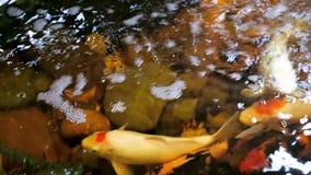 Het voeden van gouden karpers in contactdierentuin Vissenvijver stock videobeelden