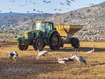 Het voeden van grijze kranen bij de overwintering in de reserve van Hula-Vallei, Israël royalty-vrije stock foto's