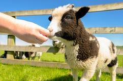Het voeden van het geitjonge geitje op het centrum van de landbouwbedrijfbezoeker Stock Afbeelding