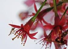Het voeden van het insect op de Bloem van de Kers royalty-vrije stock foto's