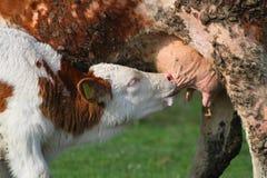 Het voeden van het kalf met melk van koe op weiland Stock Afbeelding