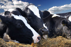 Het voeden van het vee Royalty-vrije Stock Afbeeldingen
