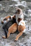 Het voeden van katjes Royalty-vrije Stock Afbeeldingen